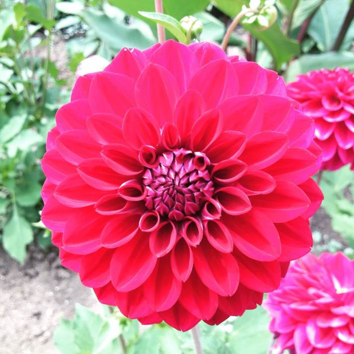 Pink dahlia in full bloom