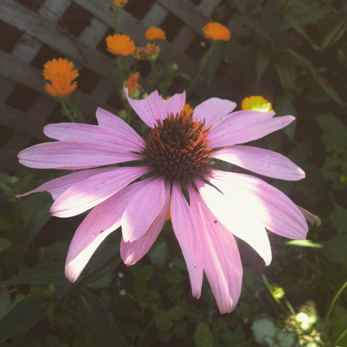 Purple Cone Flower
