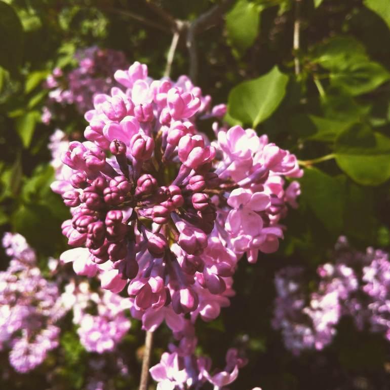 Lilac in Spring
